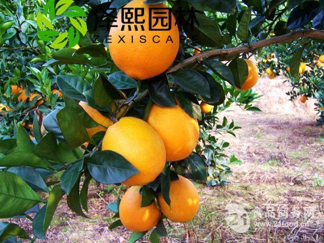泽熙供应正品纽荷尔脐橙果树果苗批发