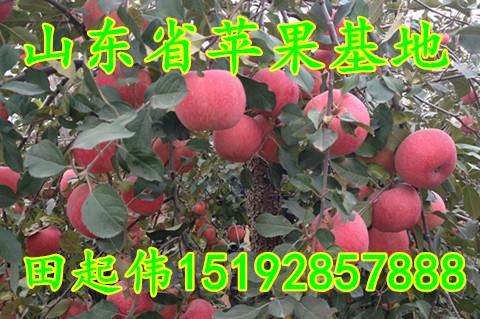 冷库红富士苹果价格 湖南省冷库苹果批发价格