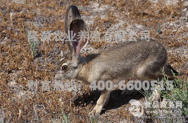 杂交野兔种兔_野兔养殖 杂交野兔 野兔养殖前景