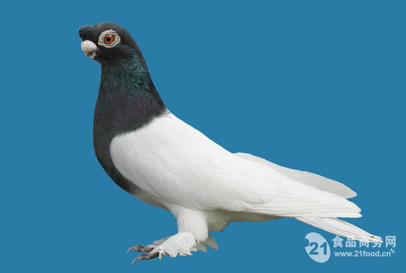 动物 鸽 鸽子 鸟 鸟类 800_537
