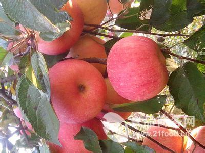 红富士苹果批发价山东产地
