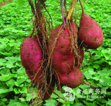 甘薯纤维/紫薯纤维