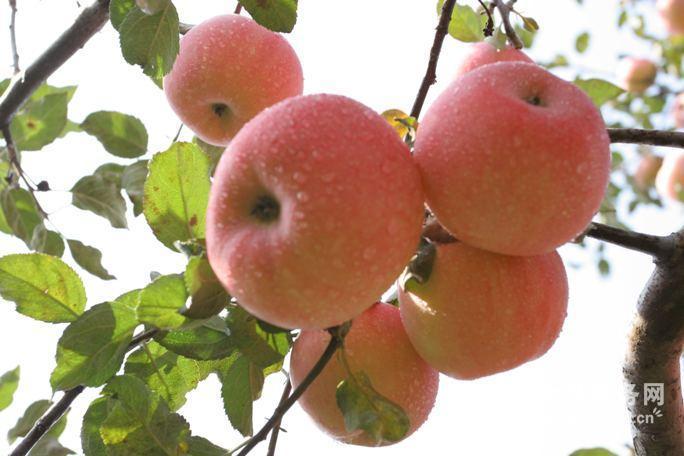 山东辽伏苹果