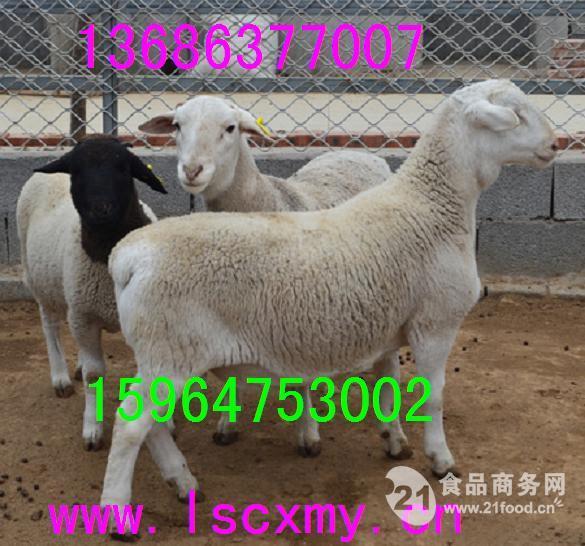 杜寒杂交羊种羊