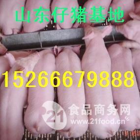 仔猪直销价格山东仔猪供应基地