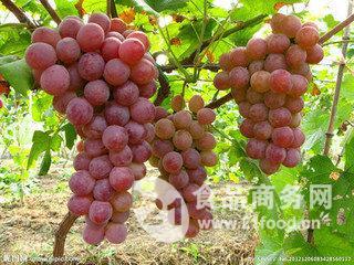 红提葡萄产地 陕西红提葡萄价格