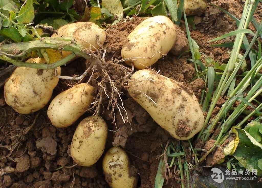 厂家现货直销 马铃薯提取物 土豆提取物 土豆蛋白粉 保健食品