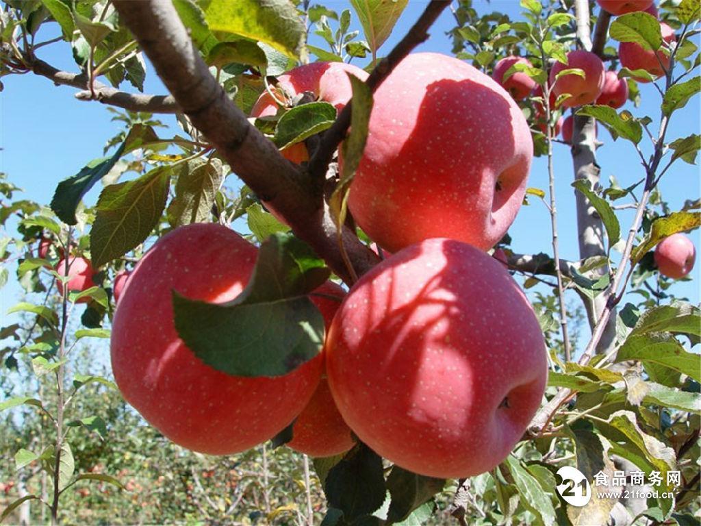 山东红富士苹果价格行情走势