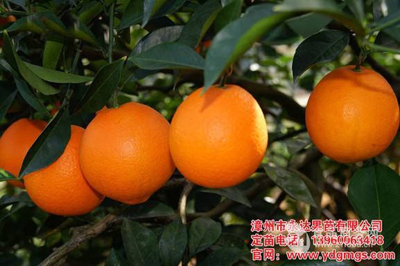 【纽荷尔脐橙苗】、伦晚脐橙苗,红肉脐橙苗