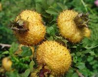 刺梨提取物粉 纯刺梨果提取物 厂家优质提取物