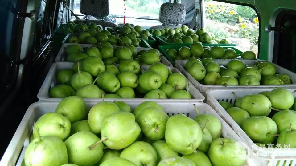 优质陕西早熟梨子价格批发基地
