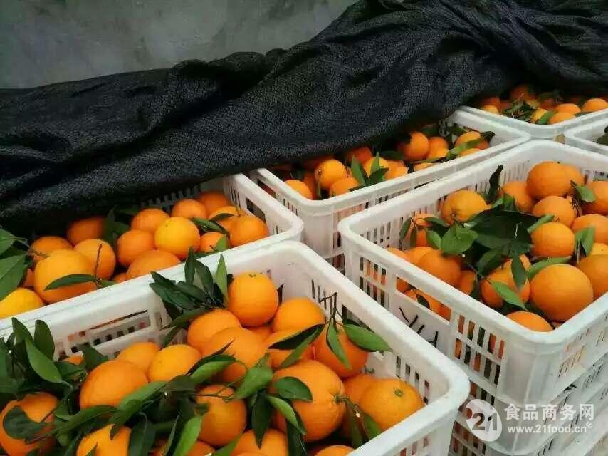 湖北秭归脐橙代办/秭归脐橙名优产品