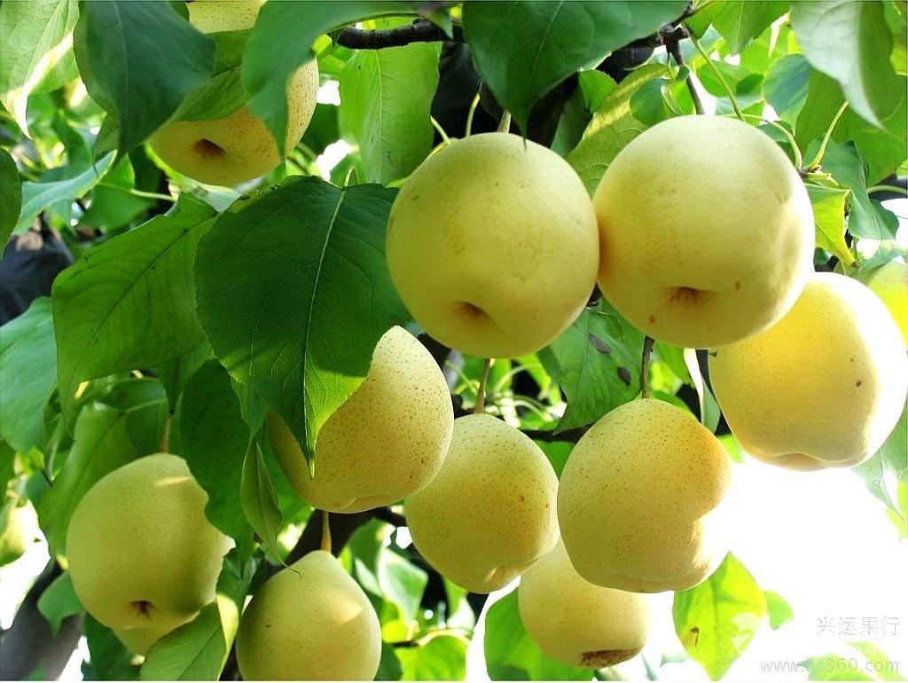 雪梨_雪梨粉批发价格@陕西西安 兰州沃特莱斯 植物提取物-食品商务网