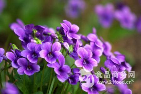 紫花地丁提取物