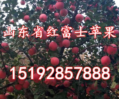 江苏今日红富士苹果价格 今年江苏省苹果批发价格