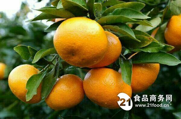 湖北宜昌柑橘/湖北柑橘代办
