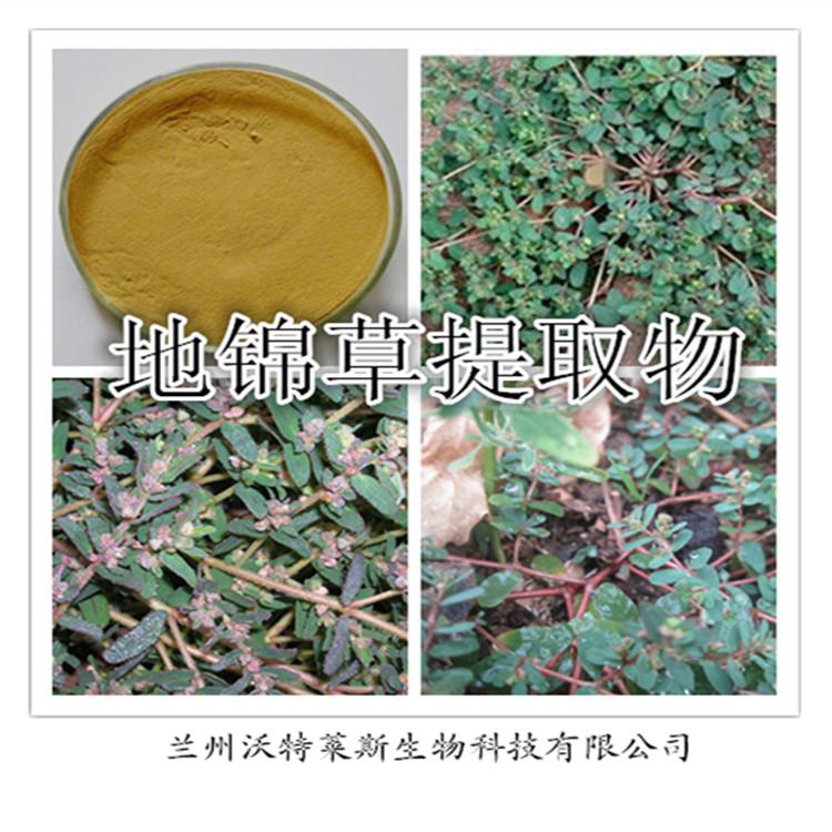 地锦草提取物  优质比例提取  专业植物提取厂家