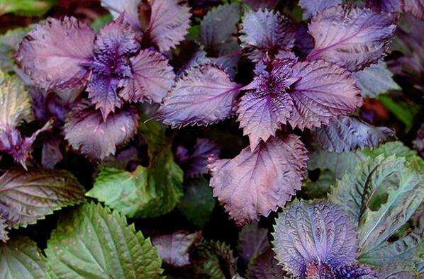 紫苏粉 厂家现货  优质保证 兰州沃特莱斯