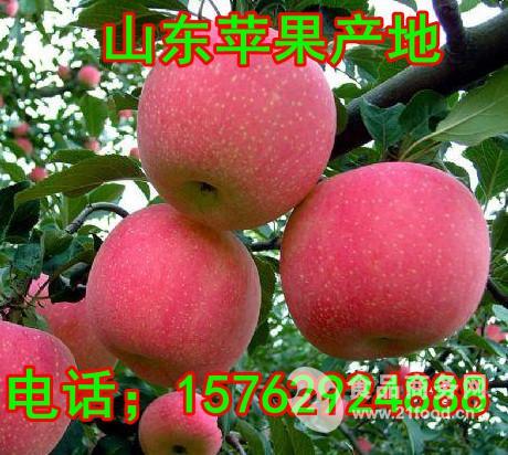 山东苹果产地冷库苹果价格行情