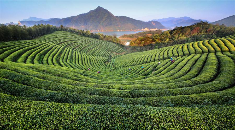 全国十大魅力茶乡,全国三十座最美茶园参评征集启动