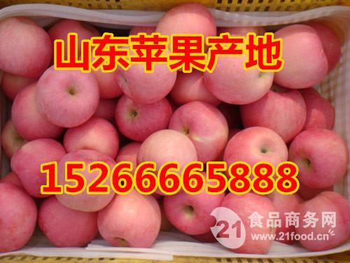 山东红富士苹果批发价格