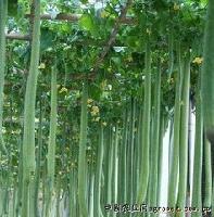 特长丝瓜种子
