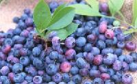蓝莓营养粉代餐粉冲饮粉