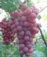 陕西红提葡萄产地批发价格,多少钱一公斤