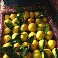 东莞下桥水果批发市场--代销柑橘