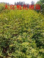 河北出售花椒树苗