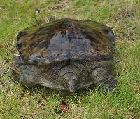 【河洲甲鱼】野生甲鱼批发|中华鳖甲鱼养殖|外塘甲鱼批发