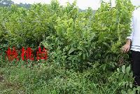 河北省保定市出售核桃树苗