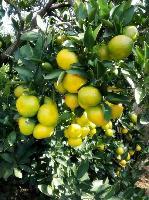 湖北宜昌柑桔产地大量批发