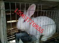低价出售成年獭兔