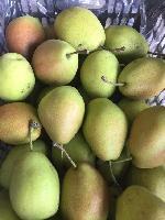 陕西早熟梨大量供应冷库红香酥梨基地