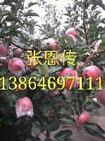 潍坊红富士苹果供应基地*