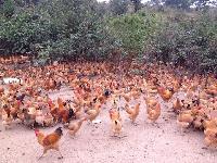 供应晶山源成活率高的优质土鸡苗