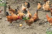 舌尖上的中国【越活草本】2年散养土鸡草鸡老母鸡批发配送