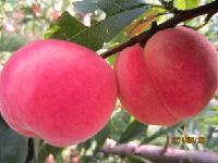 富岛红桃树苗