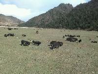 牦牛,藏羊,蕨麻猪