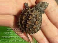 供应小鳄龟苗