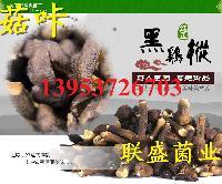 山东人工培植黑皮鸡枞菌菌种出菇菌包