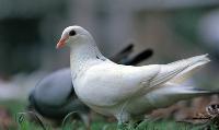 沃瑞斯规模养殖香鸽品种、种鸽养殖好品种