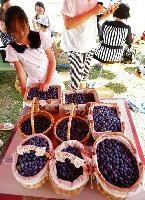 高原蓝莓----AUV蓝莓种植庄园