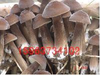 金乡联盛菌业直供黑皮鸡枞菌菌种 鸡枞菌栽培
