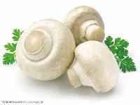 批发价格、双孢菇菌种批发、优质双孢菇