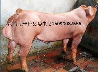 河南种猪场新美系大白长白杜洛克二元母猪21年品质保证