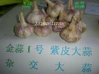 一号大蒜种子