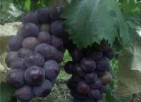 京亚葡萄价格代收代办