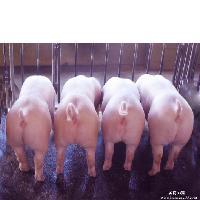 仔猪销售基地